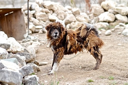 Tibetan Mastiff and the legends of the most expensive dog breeds in the world 4