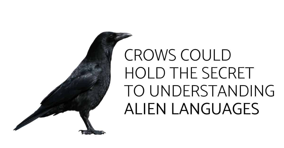 Crows Could Hold the Secret to Understanding Alien Languages