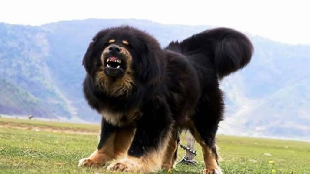 Tibetan Mastiff and the legends of the most expensive dog breeds in the world 5