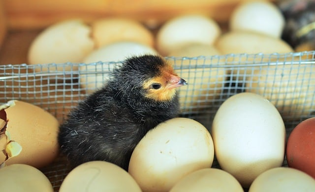 What came first, the chicken or the egg? Scientists offer the answer 1