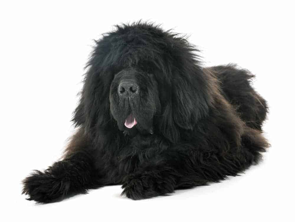 Tibetan Mastiff and the legends of the most expensive dog breeds in the world 6