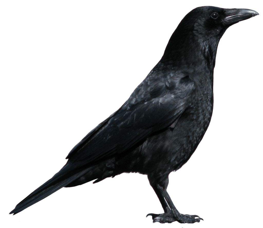 Crows Could Hold the Secret to Understanding Alien Languages 1